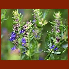 Hysope – sommité fleurie